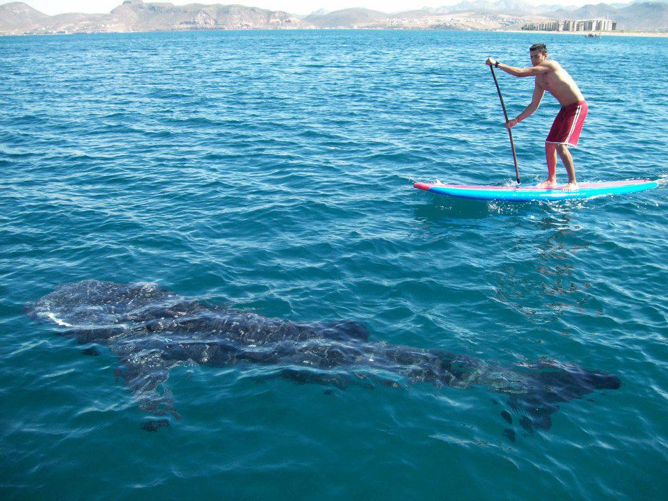 bab whaleshark next to standup paddler