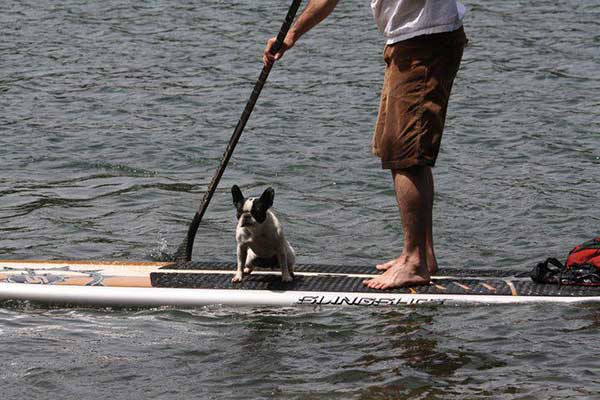 boston-terrier-on-a-standup-paddlboard