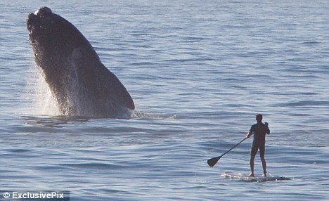 standup paddlboard whale breach