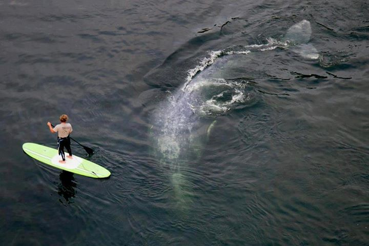 whale checking out standup paddler