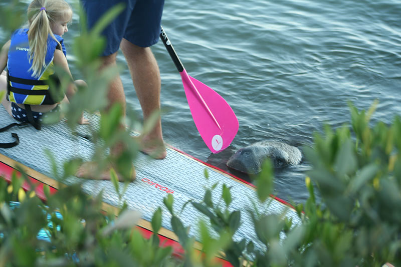 Herb Lumbert: Introducing your children to up close encounters with manatee on an SUP
