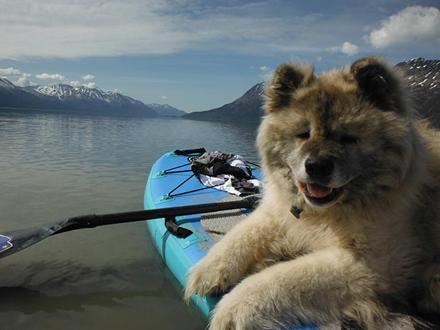 Karl Mittelstadt: ALASKA BEAR PROTECTION on DECK ........ My 86 lb Akita Loves to Paddle board in Alaska Turnagain Arm