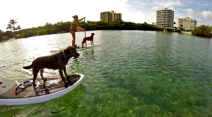 Billy Swezey Some Cattle Dogs enjoying a morning paddle in Jupiter, FL.