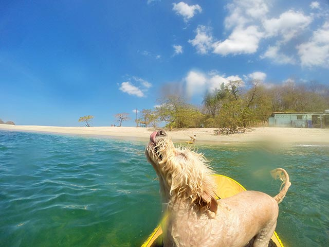 Esti Amshik: Dede gets up on the board after a swim in playa San Juanillo Costa Rica. Pura Vida! Dogs life! :)