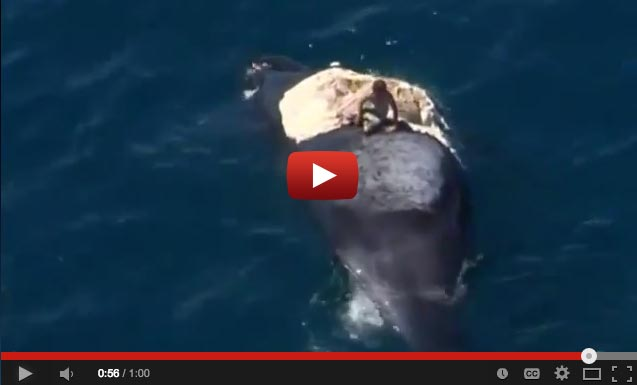 Idiot Surfs Dead Whale Surrounded By Sharks