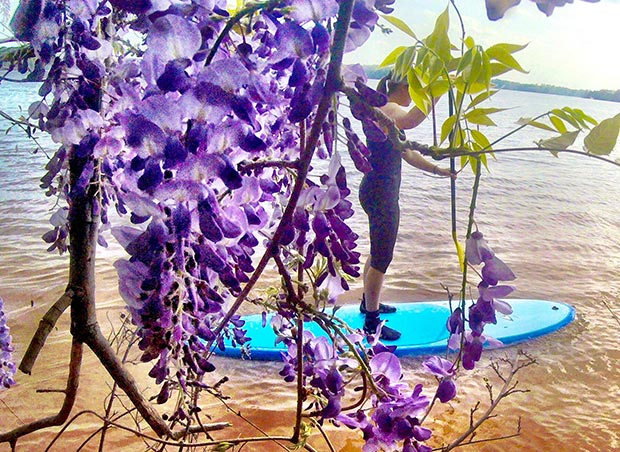 Emily Critcher: SUP in the spring on Lake Norman in North Carolina. Cruising past an island covered in Wisteria.