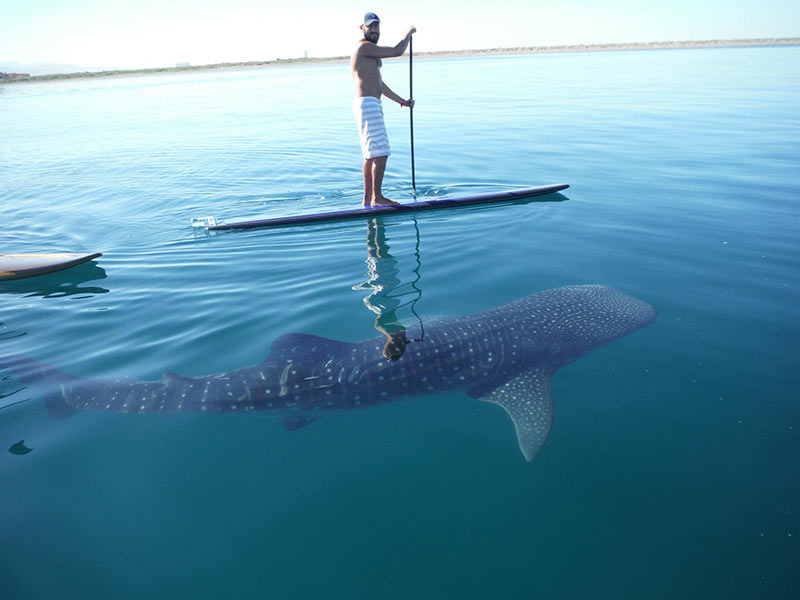 Sergio Garcia: La Paz Baja California Sur Mexico, young whale shark and I paddling in the bay.