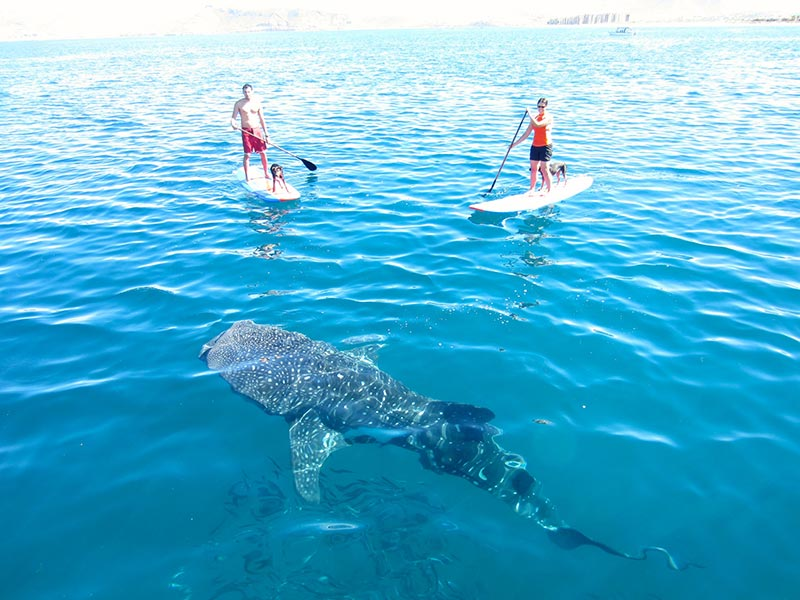Sergio García: Another day in the paradise, SUP, Whale Shark, dogs and friends. La Paz Baja California Sur México