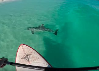 Sick Video of Standup Paddler Surfing With Dolphin Pod