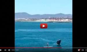 Standup Paddler Gets Up Close and Personal To Breaching Whale