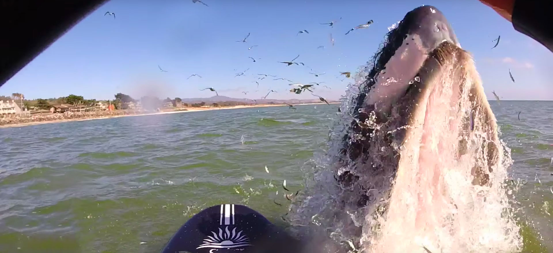 Humpback Whale Give Stand Up Paddleboarder The Scare Of Her Life