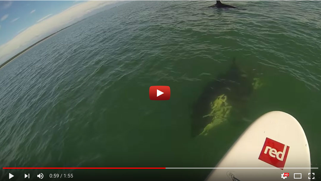 Magical Sup Encounter With 2 Playful Orcas in New Zealand