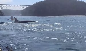 Standup-Paddlers-Get-Surprise-Of-Their-Life-From-Orcas